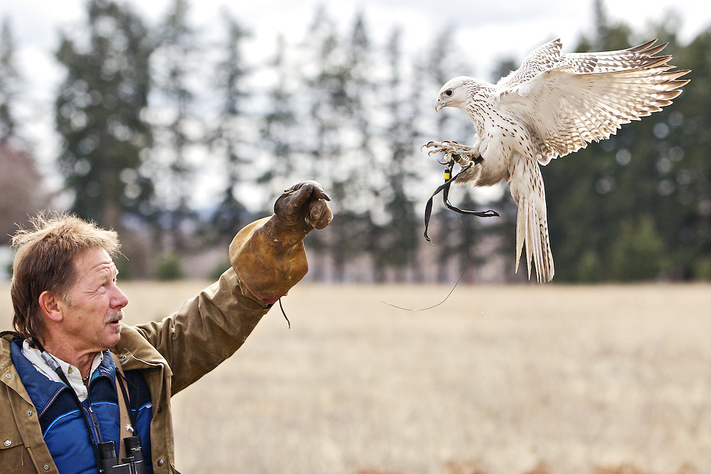 Joe Taggert has his 1-year-old gyrfalcon returns to his hand during a training flight Monday on his property on the Rathdrum Prairie. Taggert has been training falcons since he was a teenager growing up in Pennsylvania and has trained hundreds of falcon in his 40-plus years with the hobby.