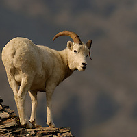Dall sheep ran posing on the edge of a cliff on Primrose Ridge in Denali National Park Alaska.