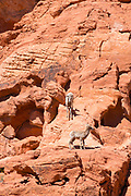 Photograph of Desert Bighorn Sheep (Ovis canadensis nelsoni) observed at Valley of Fire State Park, near Overton, Nevada, USA.