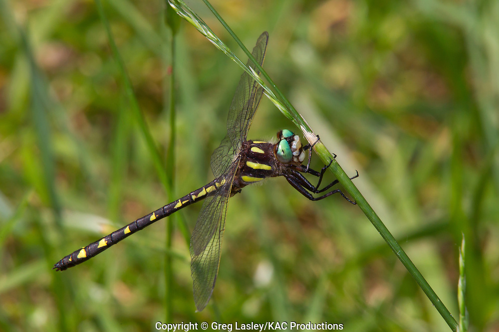 Ouachita Spiketail.Cordulegaster talaria.male.near the Caddo River,.Caddo Gap,.Montgomery Co., Arkansas.11 May 2011