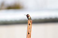 A Male Anna's Hummingbird (Calypte anna) sitting on a garden post.  Photographed in late winter in the Fraser Valley of British Columbia; Canada