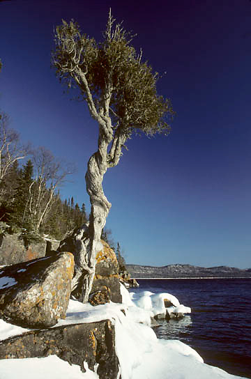 Lake Superior, near Grand Portage, the legendary Witch Tree on Hat Point on Lake Superior. Minnesota.