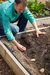 Planting out potatoes in a trench. Solanum tuberosum