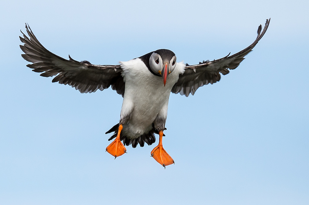 Papageitaucher im Flug, Farne Islands, England