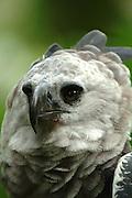 Aguila Harpía es el Ave Nacional de Panamá y la especie símbolo de la diversidad biológica de Ecuador. Es el Aguila más grandes y la rapaz más poderosa del mundo.<br /> Habitad de estas aves:  Bosque húmedo tropical, Bosque muy húmedo tropical y Bosque muy húmedo premontano .  <br /> Estado Actual Especie en Peligro de Extinción.<br /> Su estado se debe ha la destrucción de su hábitat y la cacería (incluye las de sus presas).  ©Alejandro Balaguer/ Fundacion Albatros Media