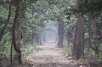 Distant view of a tiger walking on a road in sal forest in Bardia National Park, Nepal