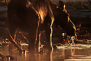 Vereinigte Staaten von Amerika, USA, 2001: Eine Elchkuh (Alces alces americana) beim Fressen von Wasserpflanzen im flachen Wasser des First Roach Pond bei Kokajo. | United States of America, USA, 2001: Moose cow, Alces alces americana, feeding on water plants in the shallow water of First Roach Pond near Kokajo, in the last light, Maine. |