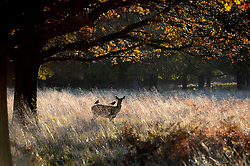 Deer in the cold morning frost at Richmond Park as weather in the UK turns to freezing. London, United Kingdom. Tuesday, 19th November 2013. Picture by Ben Stevens / i-Images