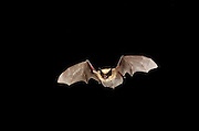 A Western small-footed bat (Myotis ciliolabrum) flying at night. Sulphur Springs, high desert Washington.