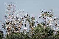 Pygmy Cormorant (Phalacrocorax pygmeus) colony on the top of the trees, Lake Tisza, Hortobagy National Park, Hungary
