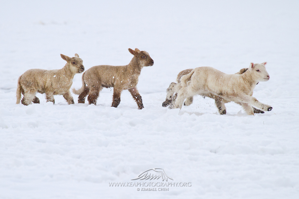 Lamb, winter snow, New Zealand