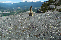 A chipmunk scurries on the top of the Chief, a granite mountain, at Squamish, BC that overlooks Howe Sound.