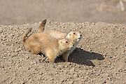 Prairie dogs in NE Wyoming