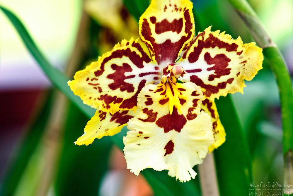 Odontocidium Orchid 'Maxima' Keukenhof Spring Tulip Gardens, Lisse, The Netherlands.