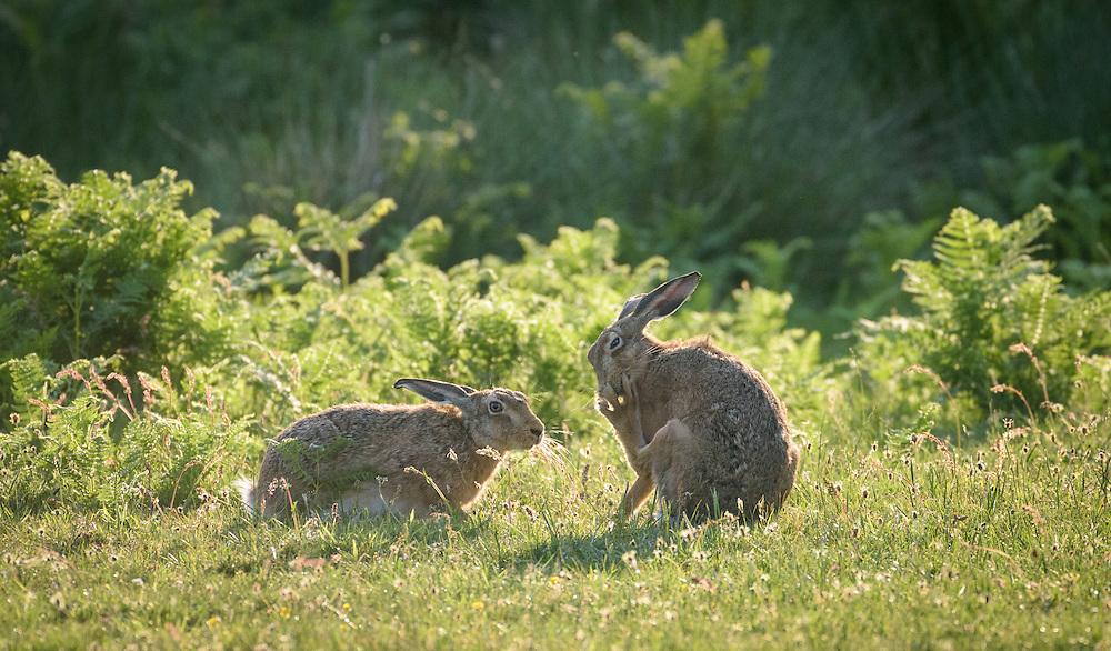 Brown hare at dawn, Islay, Scotland
