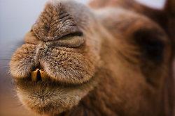 A humorous close-up of a camel face and teeth ( Camelus Dromedarius ) at the Pushkar camel fair,Rajasthan, India