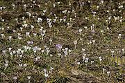 When the snow begins to melt crocuses start flourishing. High Tauern Nation Park, Austria. | Tauen die Schneeflächen ab, kommen als erstes Krokusse. Nationalpark Hohe Tauern, Österreich.