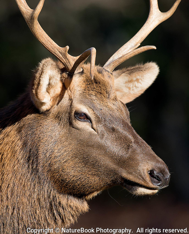 A young bull elk bathes in the sun at Cataloochee Valley in the North Carolina side of Great Smoky Mountains National Park.