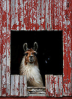 A llama looks out from one of the barns at the home of Tom and Dawn Steffes in Henry County Tuesday evening. The Steffes and their four children raise most of their food. They have cows, llamas, dogs, and chickens on their farm..Chris Bergin/ The Star Press