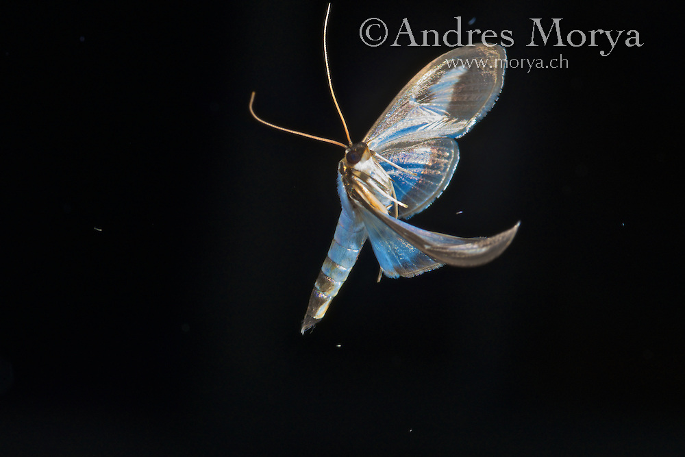 Moth in Flight, High Speed Photography, Nikon D800E, Cognisys Image by Andres Morya
