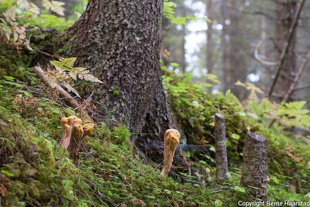 Granklubbesopp, Clavariadelphus truncatus, er en karakteristisk sopp som vokser i forholdsvis rike barskoger med helst gran. Kjøttfulle sopper, klubbeformet med flat topp (kjennetegn, skiller den fra stor klubbesopp). Rynkete, gul til gulbrun. Sporelaget er glatt og sitter på yttersiden. Spiselig. The common name of the species is club coral. It is a member of the Gomphaceae family of Basidiomycete fungi. The mushroom is edible and has a sweet taste. While the species is edible, old mushrooms may be spongy and soft inside. Clavariadelphus truncatus is distinguished by a club-shaped fruiting body, with a flattened or squared apex. Fruiting body club-shaped, simple, 4-13 cm tall, 3-6 cm wide, tapering to a narrowed base, lacking a distinct stipe and cap; apex typically flattened or depressed at the center, the margin often raised and irregularly bumpy; surface elsewhere more or less smooth to longitudinally wrinkled or grooved; color pinkish-brown to orange-brown below, shading to yellowish-orange
