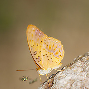 The Common Leopard Phalanta phalantha is a sun-loving butterfly of the Nymphalid or Brush-footed Butterfly family.