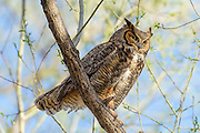 Great Horned Owl, Tein Lakes, Boulder, Colorado