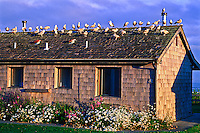 Sea gulls roosting on the roff of a cabin at Kalaloch Lodge.  Olympic National Park, Washington, USA