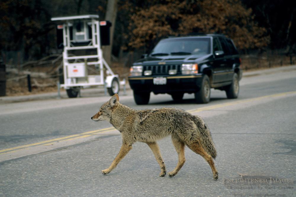 Coyote in winter crossing the road Yosemite Valley, Yosemite National Park, California