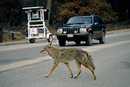 Coyote in winter crossing the road Yosemite Valley, Yosemite National Park, California