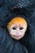 Ebony Leaf Monkeys