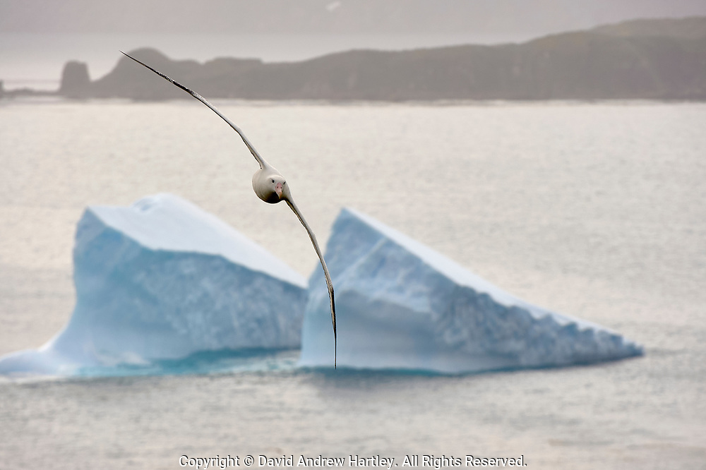 A Wondering Albatross (Diomedea exulans) flys past icebergs on its return home, Prion Island, Bay of Isles, South Georgia Island, South Atlantic Ocean