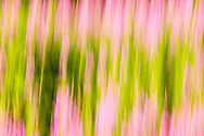 In-camera motion blur of Common Fireweed (Epilobium angustifolium) at Hatcher Pass in Southcentral Alaska. Summer. Afternoon.