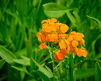 Siberian Wallflower. Image taken with a Fuji X-T2 camera and 100-400 mm OIS lens.