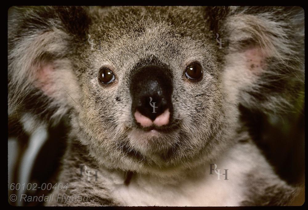 Orphaned 9-month-old koala peers into camera in close-up portrait @ Eprapah rehab cntr;(v)Brisbane Australia