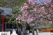 Cherry Blossoms. Photographed in the Kibune Shrine, Sakyō-ku, Kyoto, Japan