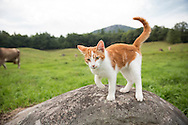 Orange and white tabby cat on a rock in a field