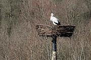 Nederland, Kekerdom, 5-3-2013Een vroege ooievaar wacht in het nest op zijn partner.Foto: Flip Franssen/Hollandse Hoogte
