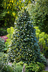 Cone shaped topiary bay in a border. Laurus nobilis