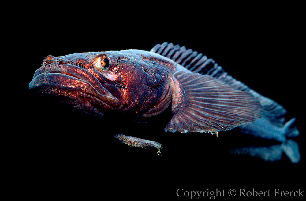 UNDERWATER MARINE LIFE EAST PACIFIC: Northeast FISH: Plainfin midshipman Porichthys notatus