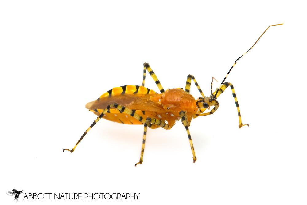 Pselliopus barberi (Assassin Bug)<br /> TEXAS: Travis Co.<br /> Austin<br /> 31-Oct-2011<br /> J.C. Abbott