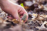 Morel mushroom hunting in Antrim County.