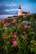 The June bloom of Rosa Rugosa, also known as beach rose, presents a great photo opportunity at Pemaquid Point Light.