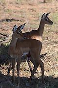 Kenya, Samburu National Reserve, Gerenuks Litocranius walleri, AKA Giraffe Gazelle