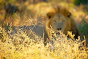 A male lion stares intensely into camera bathed in golden morning light, focus on grass in foreground.
