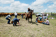 Rancher, cartoonist, Wally Badgett, horse Egor, ropes and drags calves to fire, wrestlers, Tom Peila brands, Rob Ferguson castrates, Angie Dauben ear tags, cattle branding, Lazy TL Ranch, north of Miles City, Montana