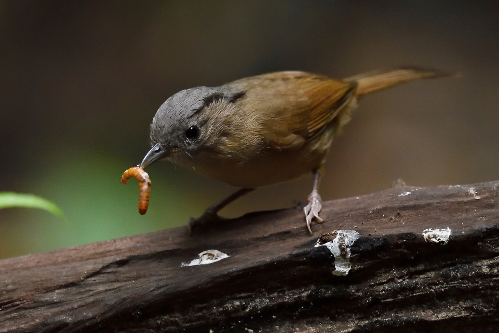brown-cheeked fulvetta bird, Alcippe poioicephala, catching a larve at Tongbiguan nature reserve, Dehong Prefecture, Yunnan Province, China