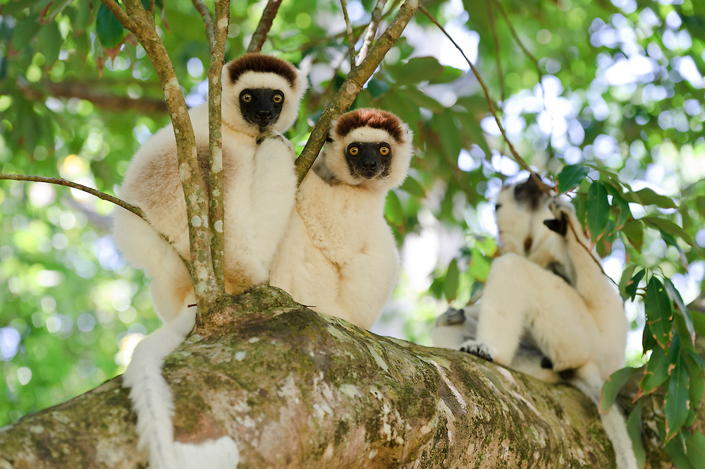 Three Verreaux's sifaka in a tree, Nahampoana Reserve, Fort Dauphin, Madagascar.