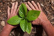Belo Horizonte_MG, 21 de novembro de 2011.<br /> <br /> Imagens da vegetacao presente no terreno do casarao localizado no bairro castelo.<br /> <br /> Foto: LEO DRUMOND / NITRO