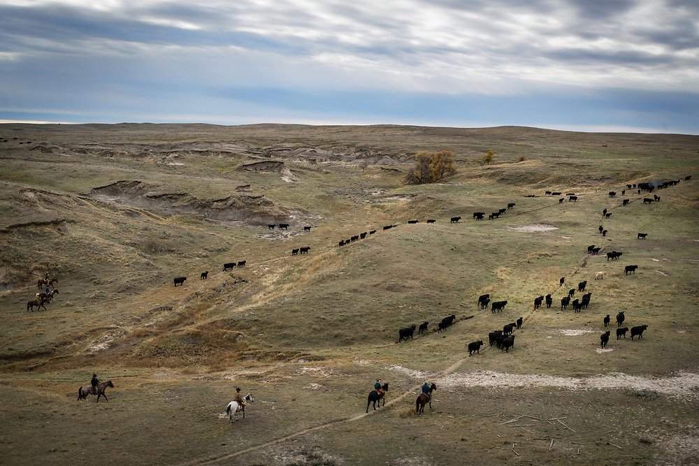 A group of friends round up cattle on land owned by a grazing association west of Meadow, SD on October 8, 2017. Grazing associations provide a way for multiple ranchers to defray the costs of land owning and usage for grazing cattle and on occasion provide access to national grasslands and grazing areas.